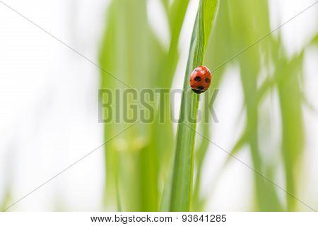 Ladybug On Grass Blade