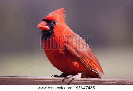 Red Cardinal On A Board