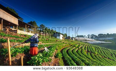 Chiang Mai, Thailand-december 11 : Worker Watering Strawberry In Strawberry Field On December 11, 20