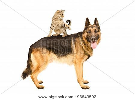 Playful cat Scottish Straight standing on German shepherd
