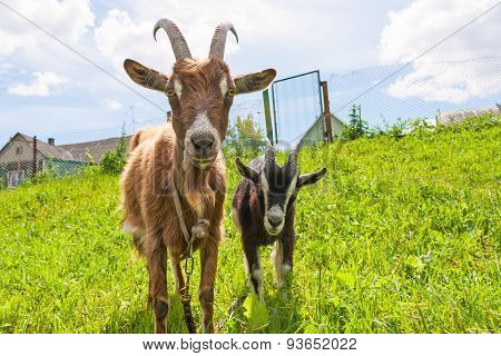 Haired Goat With Kid