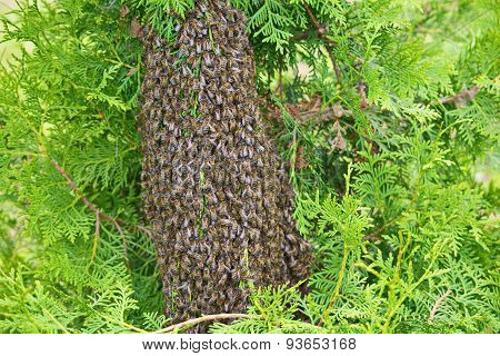 Swarm Of Bees On The Arborvitae