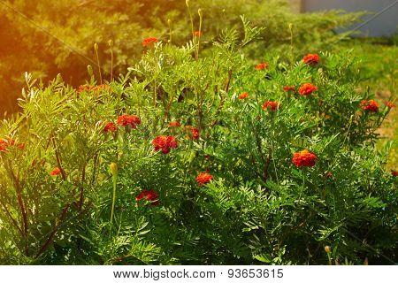 Bush Marigold