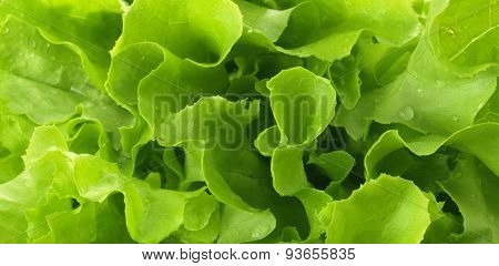 Photo Of Green Lettuce