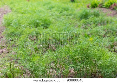 Dill Herb Growing On  Bed
