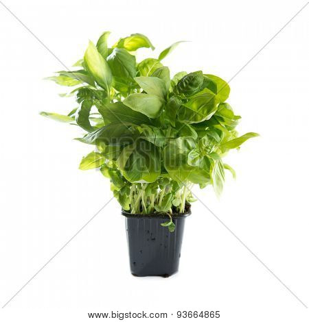 Basil. Sweet basil sprout in flower pot. Isolated on white background