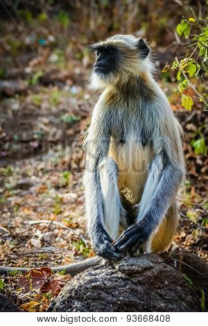 A wild langur monkey sitting on a rock in a national park in India