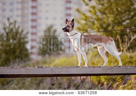 The Domestic Dog On The Wooden Bridge.