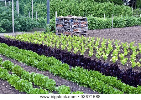 Vegetable allotment in summer