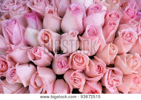 Fresh Pink rose bunch with drops of water