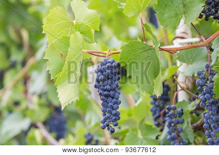 Bunch of grapes with green vine leaves in basket on wooden table