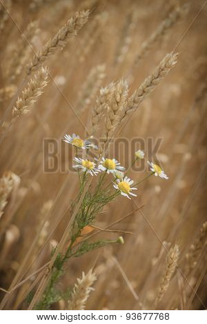 Daisy flower in wheat field