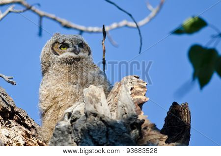 Young Owlet High In Its Nest Looking Across The Tree Tops