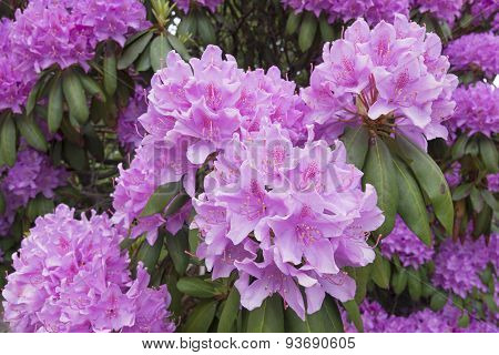 Rhododendron With Large Showy Flowers