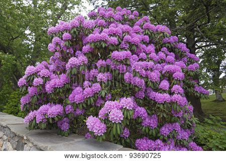 Huge Rhododendron Flowers In Full Bloom