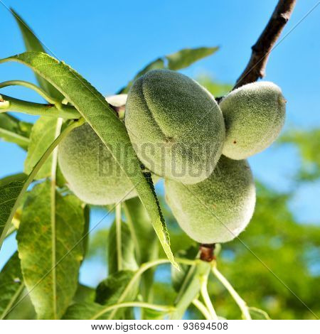 closeup of a branch of almond tree with some green almonds against the blue sky