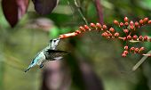 foto of hummingbirds  - Flying Cuban Emerald Hummingbird  - JPG