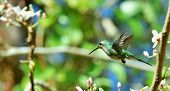 picture of hummingbirds  - Flying Cuban Emerald Hummingbird  - JPG