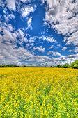 image of rape-field  - Yellow Rape field and cloudy blue sky - JPG