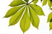stock photo of chestnut horse  - Translucent horse chestnut textured green leaves in back lighting on white sky background with sun shine flare  - JPG