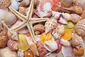 picture of cockle shell  - nice shells - JPG