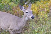 picture of mule deer  - Mule Deer in the Swiftcurrent valley of Glacier National Park in Montana - JPG
