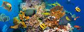 image of fire coral  - Tropical Anthias fish with net fire corals and shark on Red Sea reef underwater - JPG
