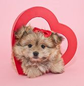 stock photo of fluffy puppy  - Fluffy little puppy laying inside a red heart with a red bow in her hair on a pink background - JPG