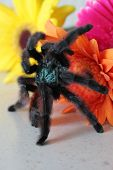 picture of crawling  - Tarantula crawling on flowers - JPG