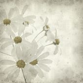 image of tansy  - textured old paper background with Tanacetum ptarmiciflorum Silver Lace Bush or Silver Tansy