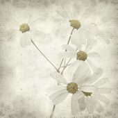 picture of tansy  - textured old paper background with Tanacetum ptarmiciflorum Silver Lace Bush or Silver Tansy - JPG