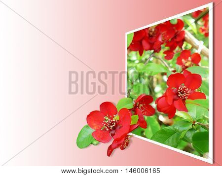 Japanese quince (Chaenomeles japonica) - branches with beautiful flowers and macro details. 3D Pop-Out Photo Effect