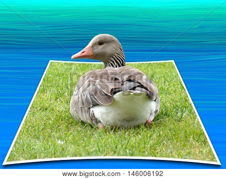 Greylag Goose Sitting In Grass Looking Back In Camera. 3D, Pop-out Photo Effect With Illustrated Bac