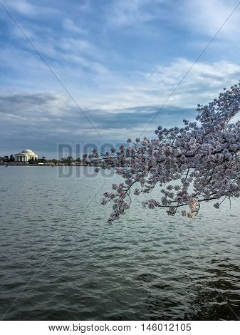Jefferson Memorial during Cherry blossoms. Lake and blooms.