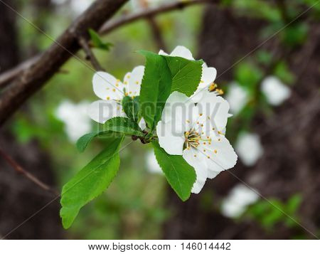 Blooming banch of blossoms of apple tree in Spring