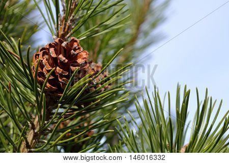 beautiful Pine cone on pine - close-up seasonal