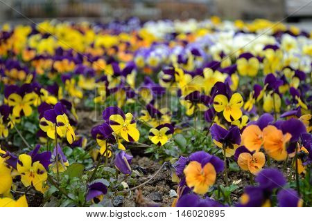 Flower with purple-yellow pansies - Depth of field