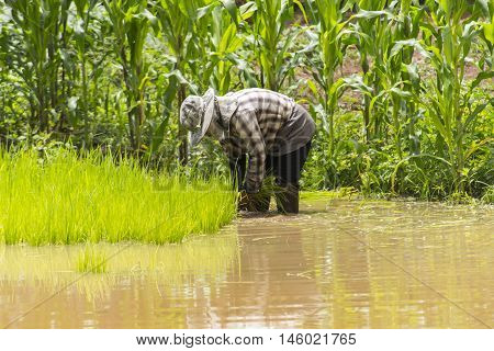 Farmers - the farming of Thailand started already in the field