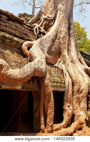 Ta prohm temple covered in tree roots Angkor Wat Cambodia. Close up detail on roots