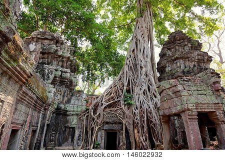Ta prohm temple covered in tree roots Angkor Wat Cambodia