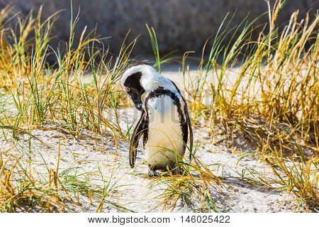 Boulders Penguin Colony, National Park Table Mountain. South Africa. Penguin in the grass