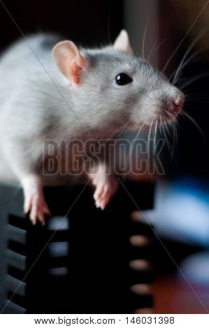 beautiful gray rat standing on a support for pencils