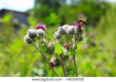 bee on the blooming flowers of medicine plant agrimonies in the meadow