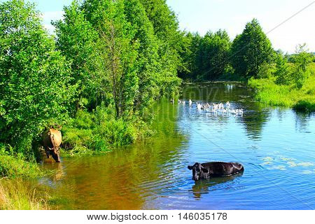 rural cows drink water in the river