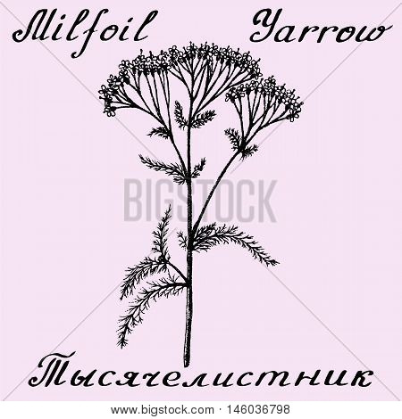 Yarrow Achillea millefolium hand drawn sketch botanical illustration. Vector illustation. Medical herbs. Lettering in English and Russian languages