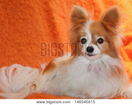Papillon dog with perked ears against orange background