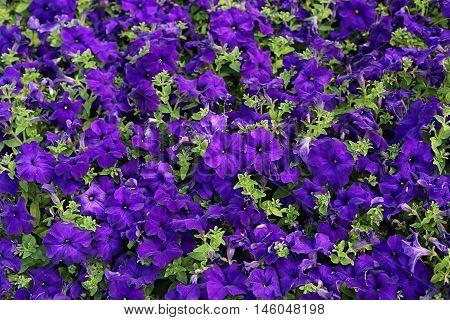 Flowers of bright petunia closeup nature background