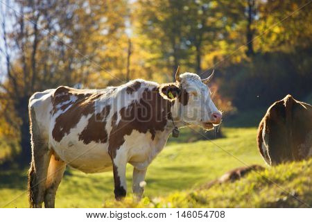 Cows on an autumn pasture