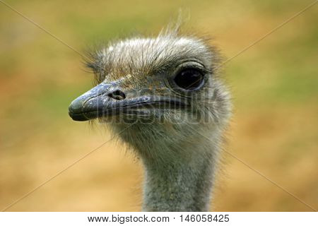 Ostrich (Struthio camelus) head and neck with green and brown blurred background.