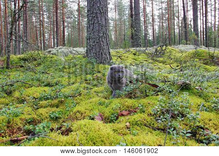 The Scottish fold cat sits in a pine forest, among the bushes of cranberries, small trees, tall pine trees, on a carpet of moss, green and silver